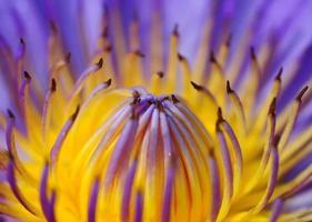 soft-focus mooie waterlelie foto