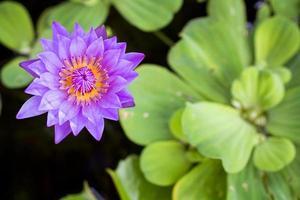 waterlelie lotus