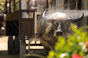 waterbuffel tochten