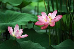 mystieke lotus (waterlelie)