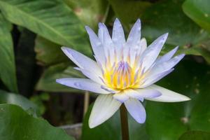 lotusbloem op het water