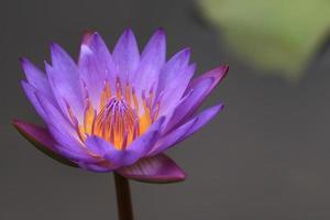 waterlelie bloem