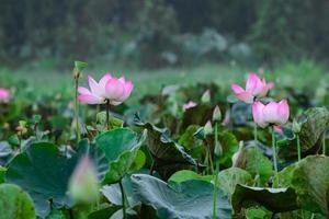 lotus bij moeras
