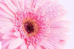 zoete roze gerberabloem met waterdruppel foto