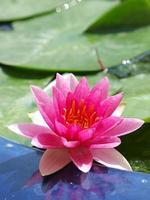 roze waterlelie bloeit foto