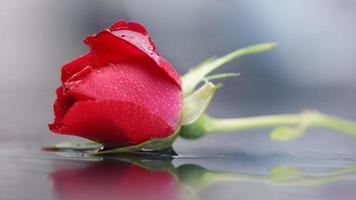 Valentijn natte rode roos, waterdruppels, reflectie