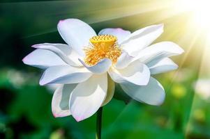 lotusbloem bloesem