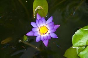 paars water lelie in het zwembad
