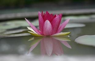 roze lotus