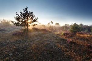 zonsopgangzon door pijnboomboom foto