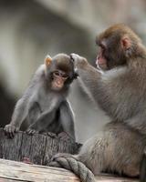 Japanse makaak, macaca fuscata foto