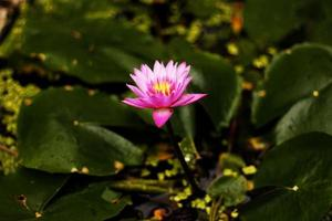 Prachtige lotus (enkele lotusbloem geïsoleerd op witte achtergrond)