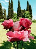 rozen in close-up foto