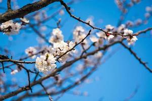 bloeiende tak van abrikoos foto