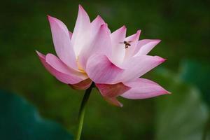 bij die naar roze lotusbloem vliegt