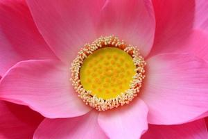 roze lotus.