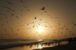 enorme hoeveelheid meeuwen aan de kust foto