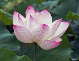 enkele lotusbloem, olieverf stilering