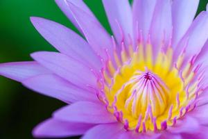 bloei lotus