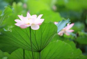 roze lotus bloeien in vijver