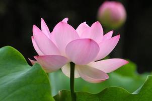 bloesem roze lotusbloem