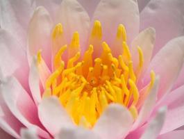 roze lotusbloesems of waterleliebloemen bloeien