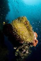 anemoon op wrak foto