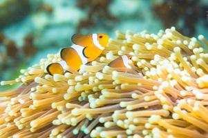 clown anemonefish zwemmen tussen de tentakels van zijn anemoon ho foto