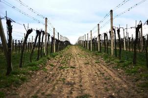 wijngaard in het voorjaar