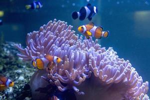 tropische clownvissen bij aqaurium foto