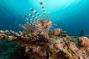 lionfish en koraal in de rode zee. foto