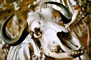 Buffalo schedel