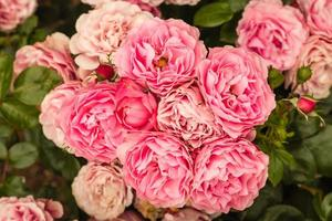 roze floribunda rozen in bloei