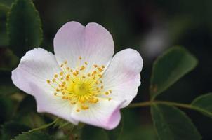 hondsroos (rosa canina) foto