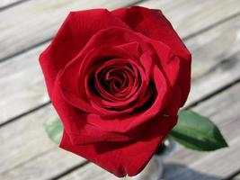 rode roos op tafel foto