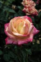 roze en gele roos