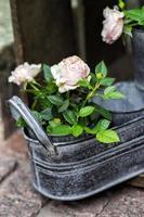 rozen foto