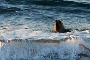 patagonië zeeleeuw op het strand foto