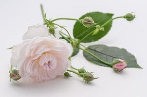 enkele roze roos witte achtergrond foto