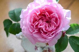 antieke roze roos - comte de chambord foto