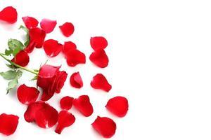een rode roos en verspreide rozenblaadjes op een witte achtergrond