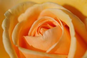oranje roos foto
