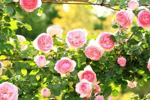 witte en roze rozen