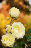bloemen - roos