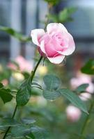 roze roos foto