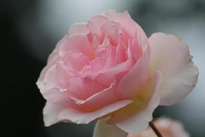 prachtige roos foto