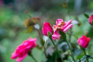 enkele roos foto