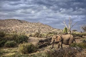 olifant in samburu nationaal park foto