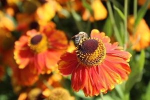 oranje bloem met bijen