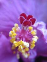 paarse hibiscus foto